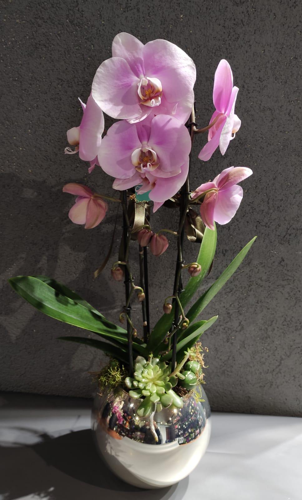 Özel Pembe çiftdallı  orkide